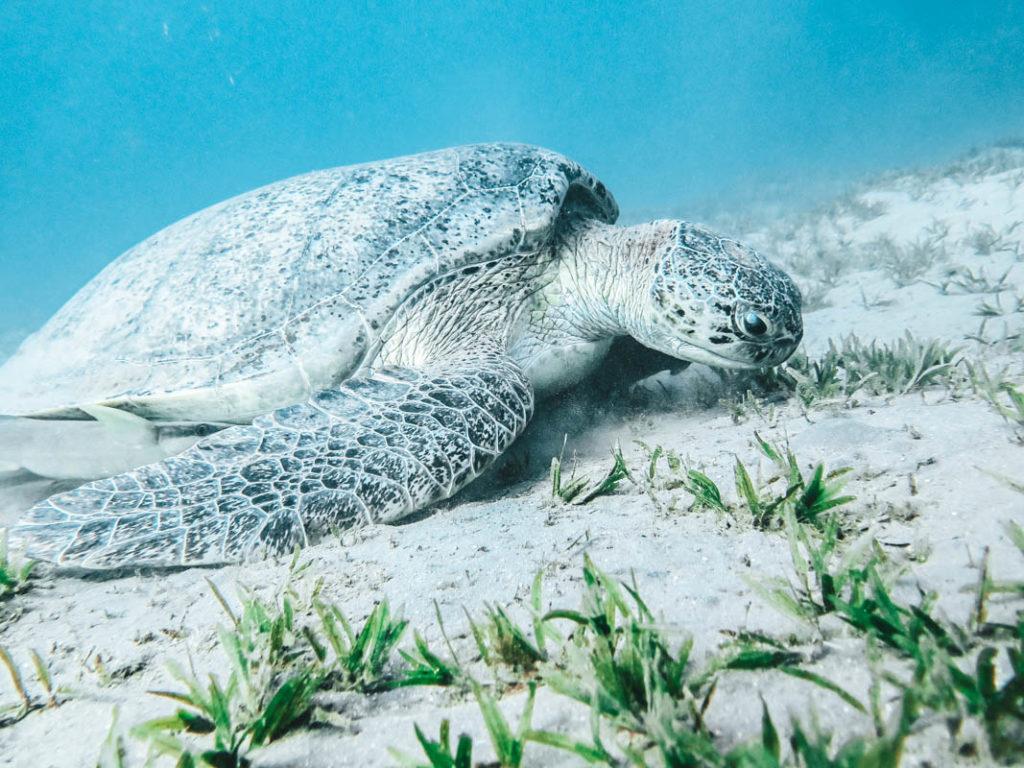 MA Schildkröte